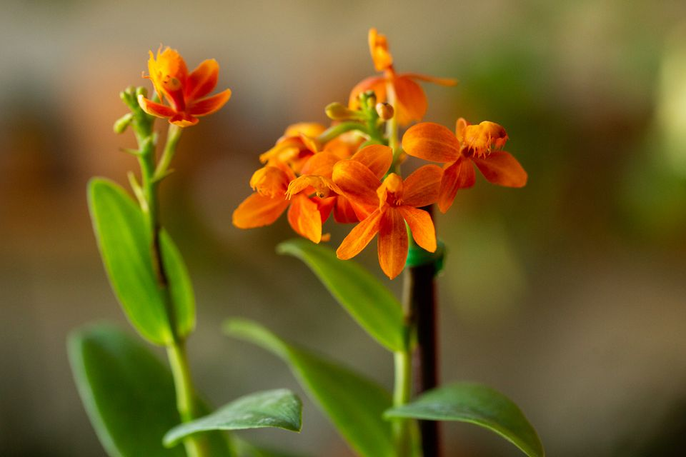 Epidendrum orchid with small orange flowers closeup