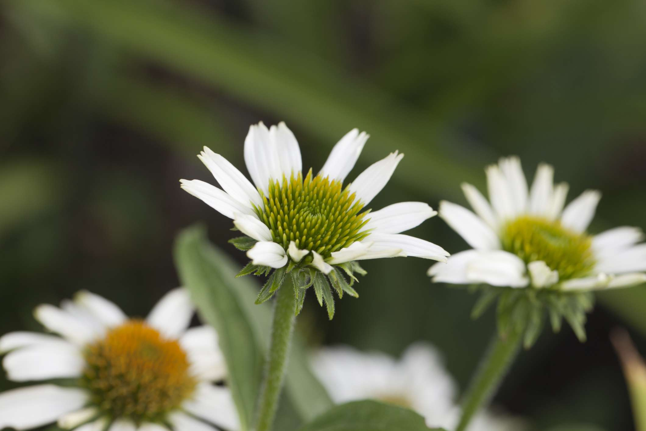 Avalanche Coneflower