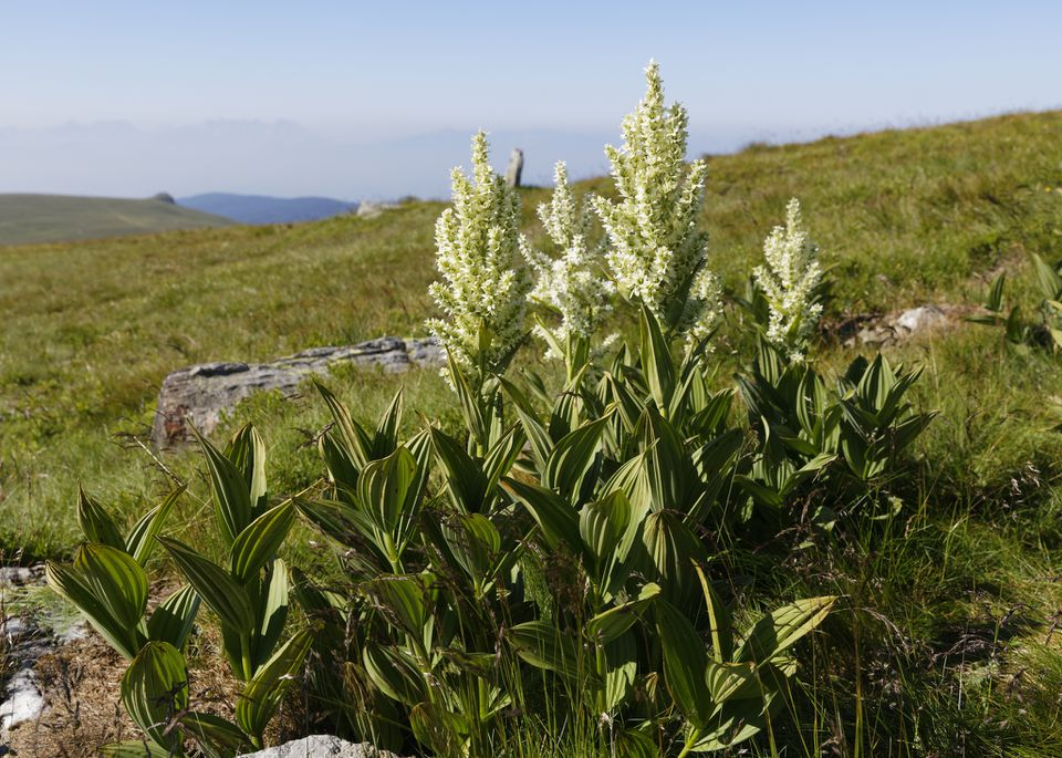 Mature false hellebore plants
