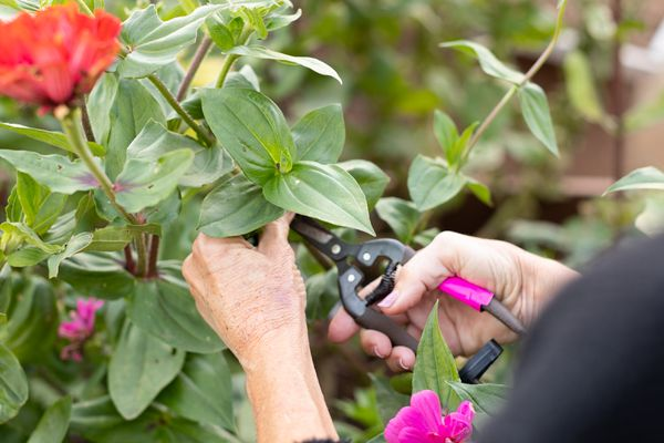 Rose bush being trimmed with pruners to take cuttings for September