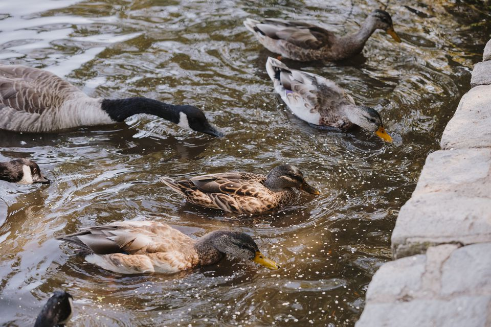 ducks feedings