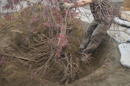 Man Relocates Anese Maple Acer Palmatum
