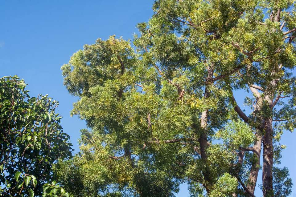 African fern tree with sprawling bright green branches against blue sky