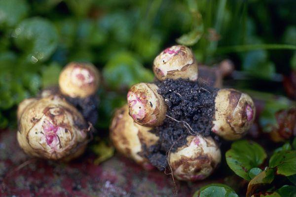 Jerusalem artichoke (Helianthus tuberosus)