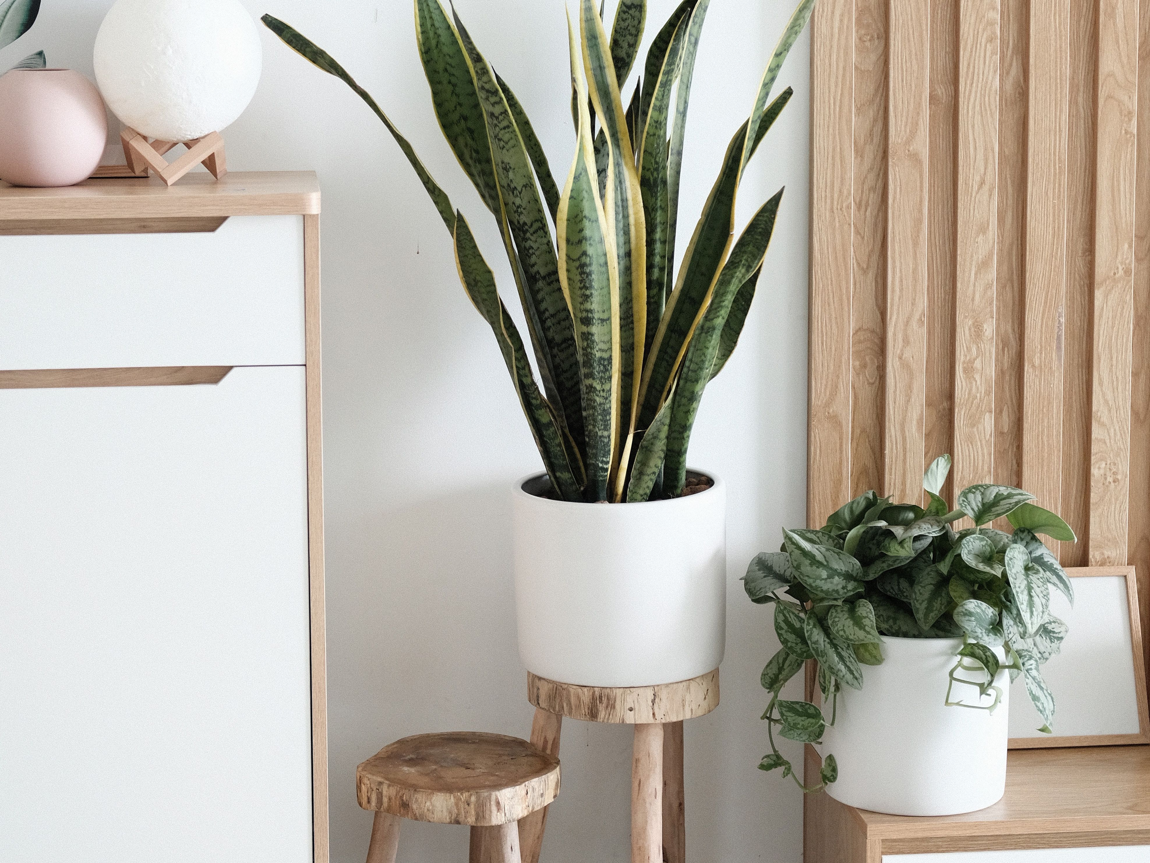 Sansevieria Plant Feng Shui good and bad feng shui plants