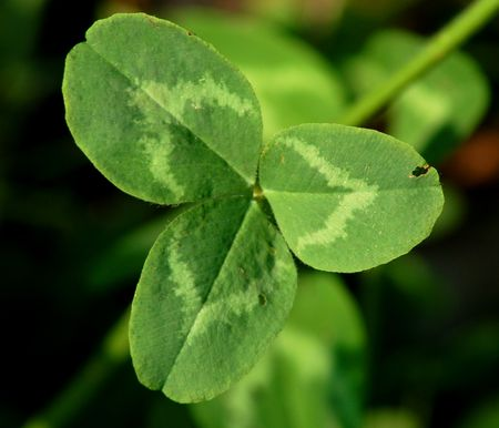 Difference Between Irish Shamrocks And 4 Leaf Clovers