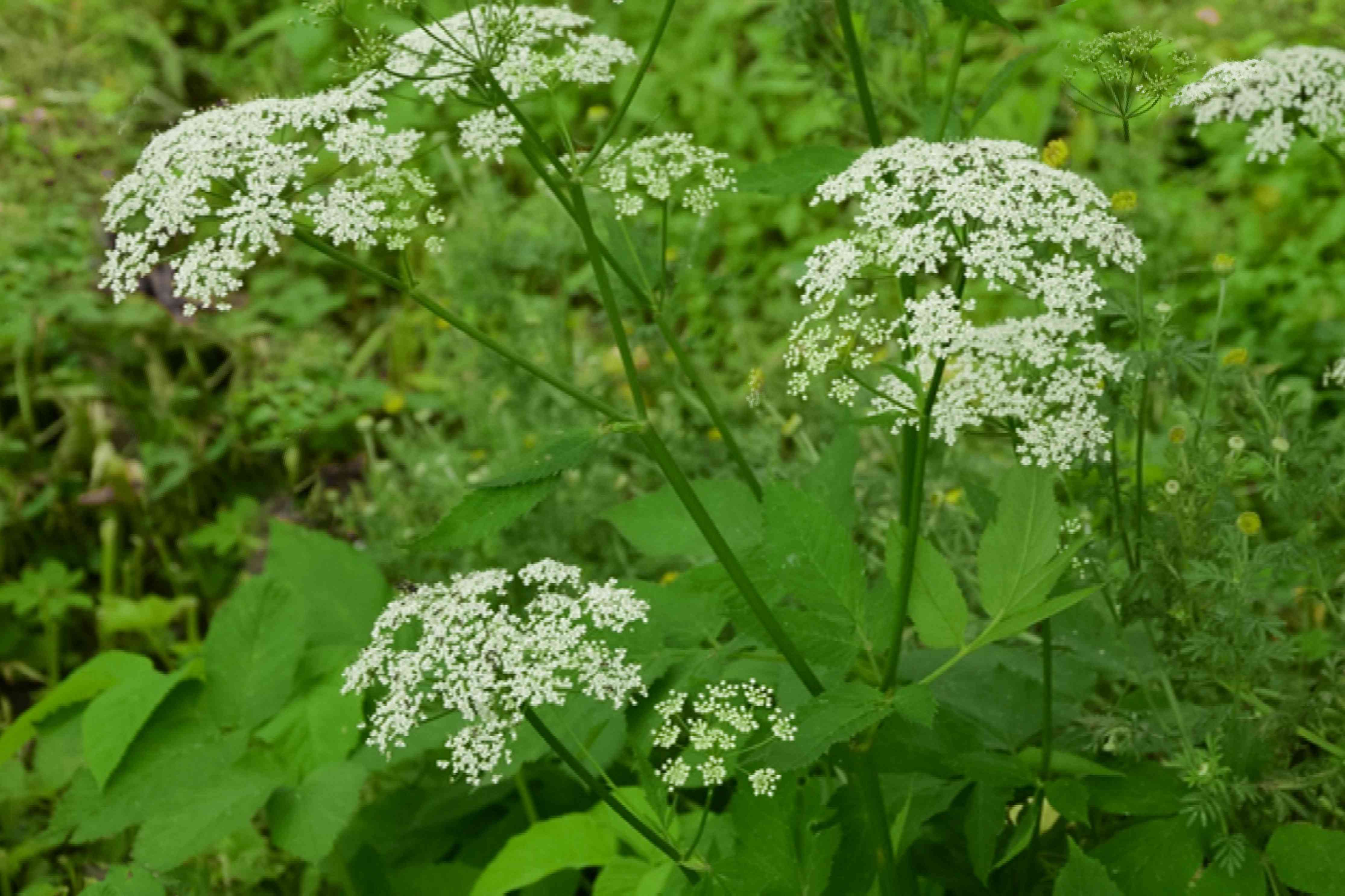 Bishop's weed plant with small white flower umbels on thin stems over leafy foliage