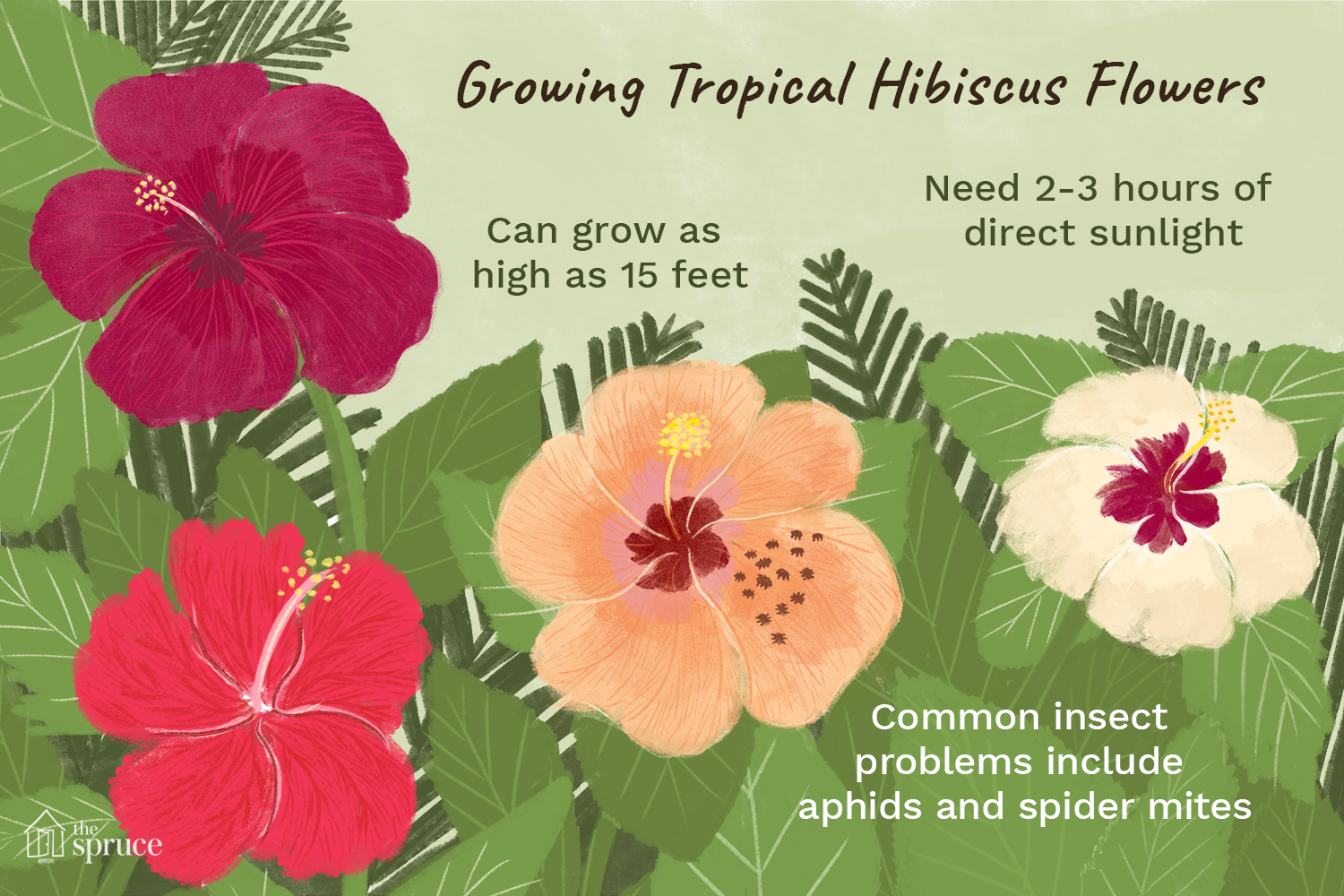 growing tropical hibiscus flowers illustration