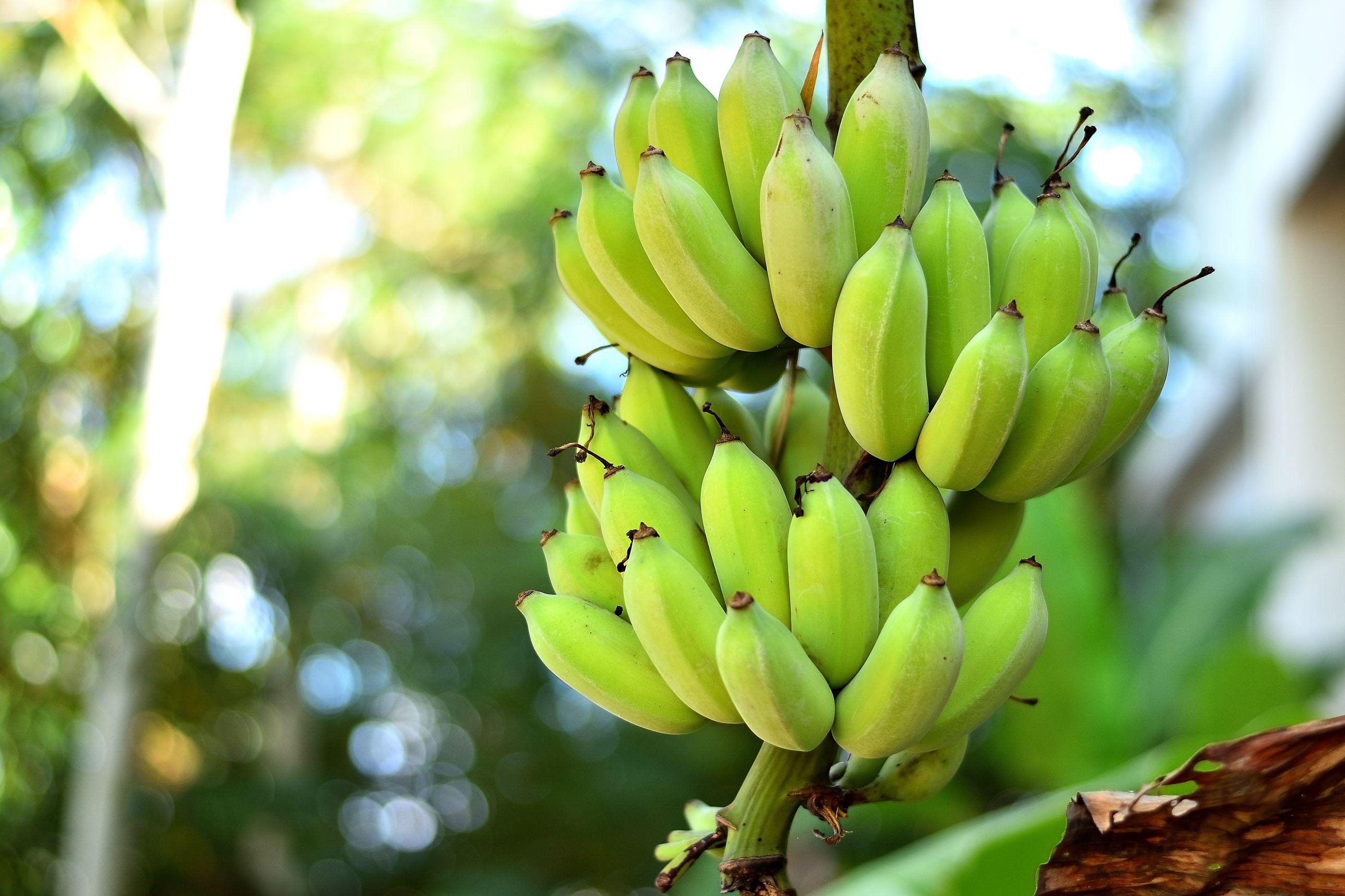 close up of bananas 5ade1aaa642dca c2da