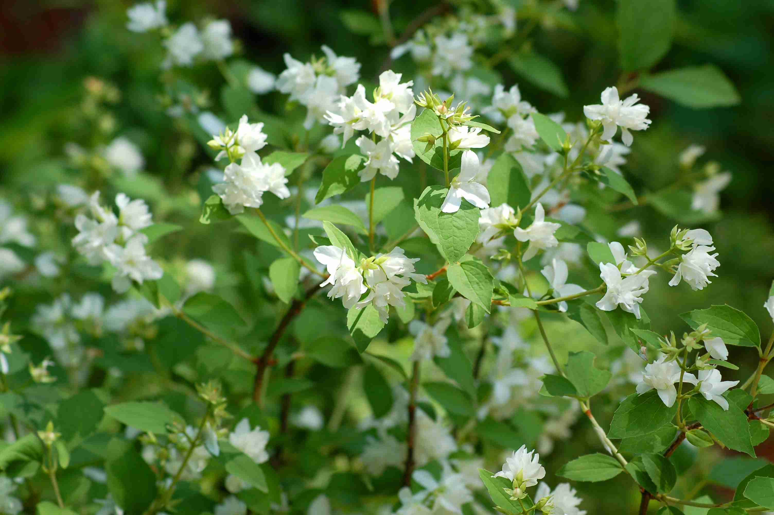 10 Best Fragrant Shrubs To Grow In Your Yard