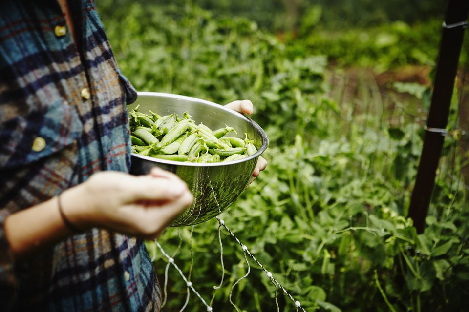 Farmer holding bowl of fresh organic peas