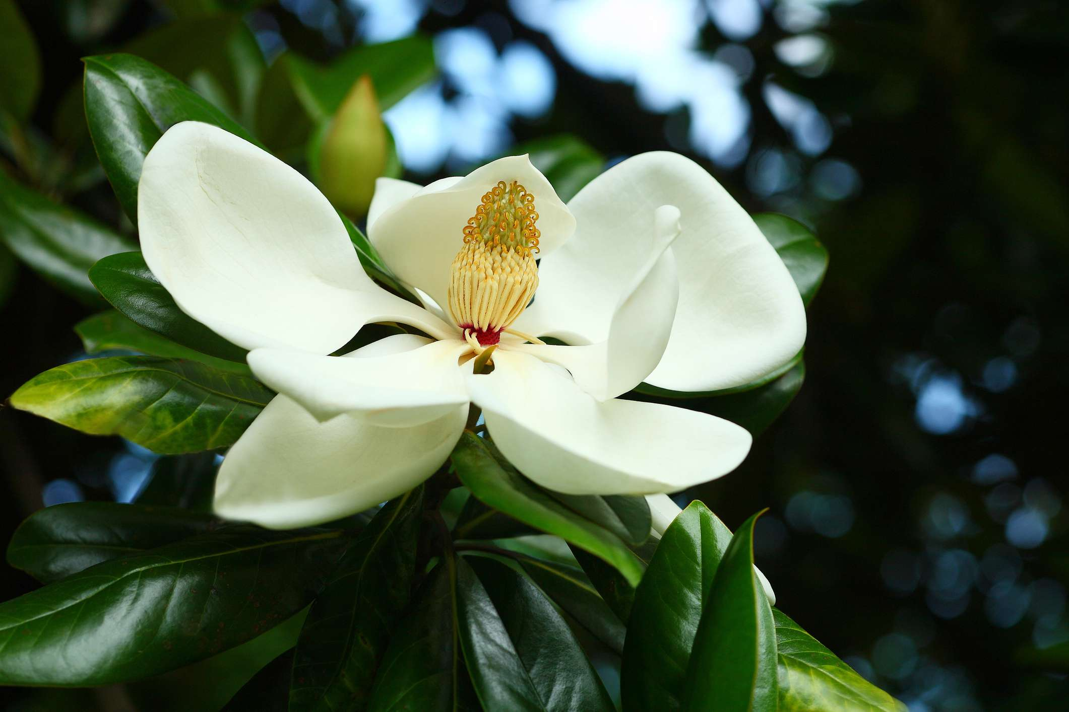 12 species of magnolia trees and shrubs mightylinksfo