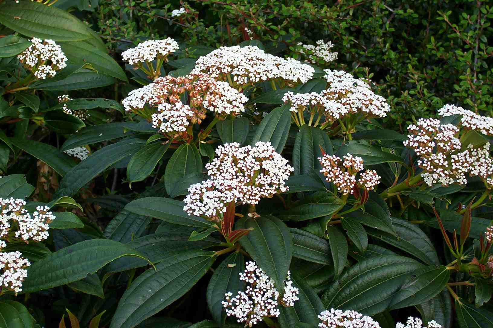 white flower plants that are part of the viburnum genus