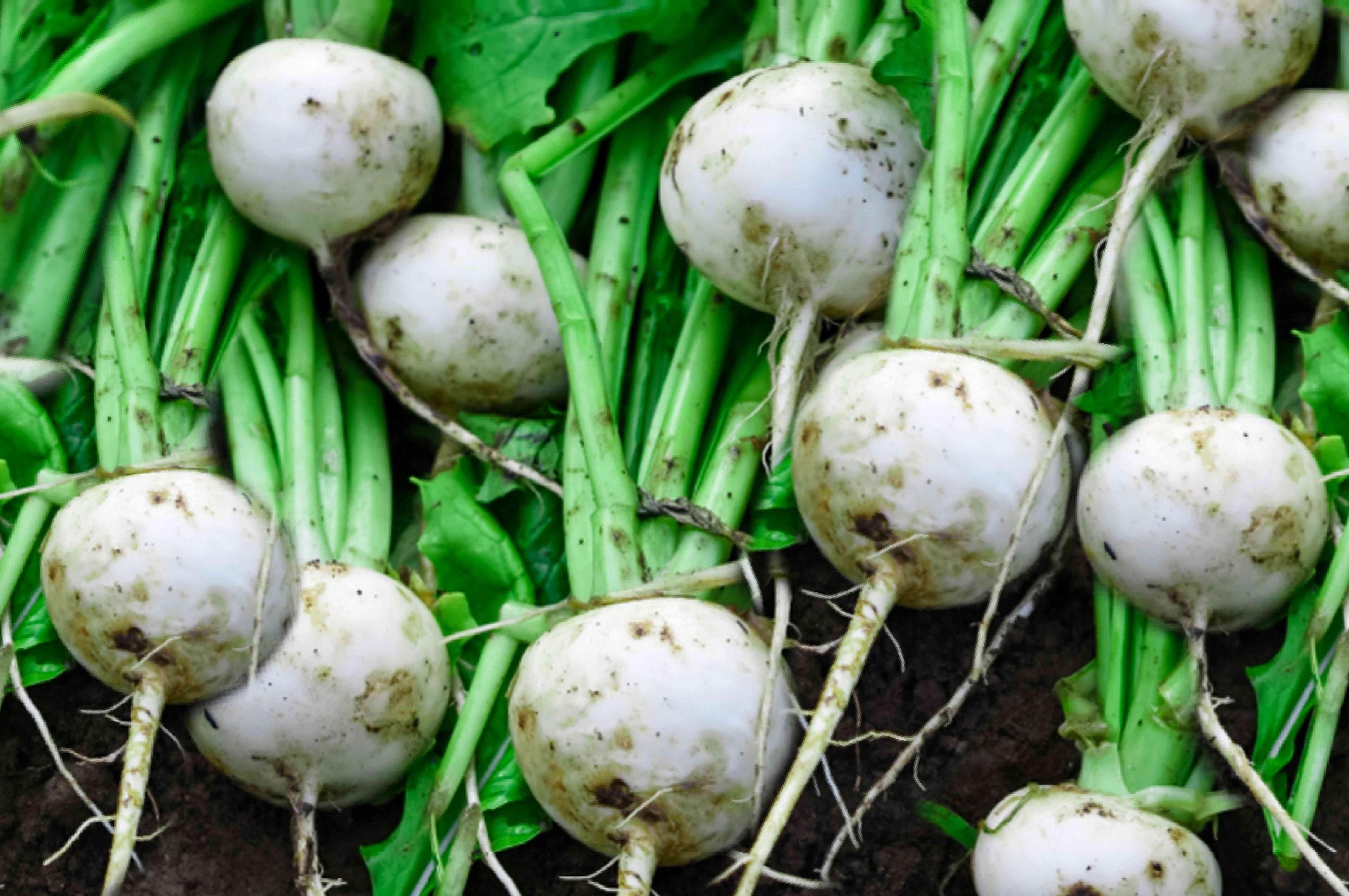 turnip harvest