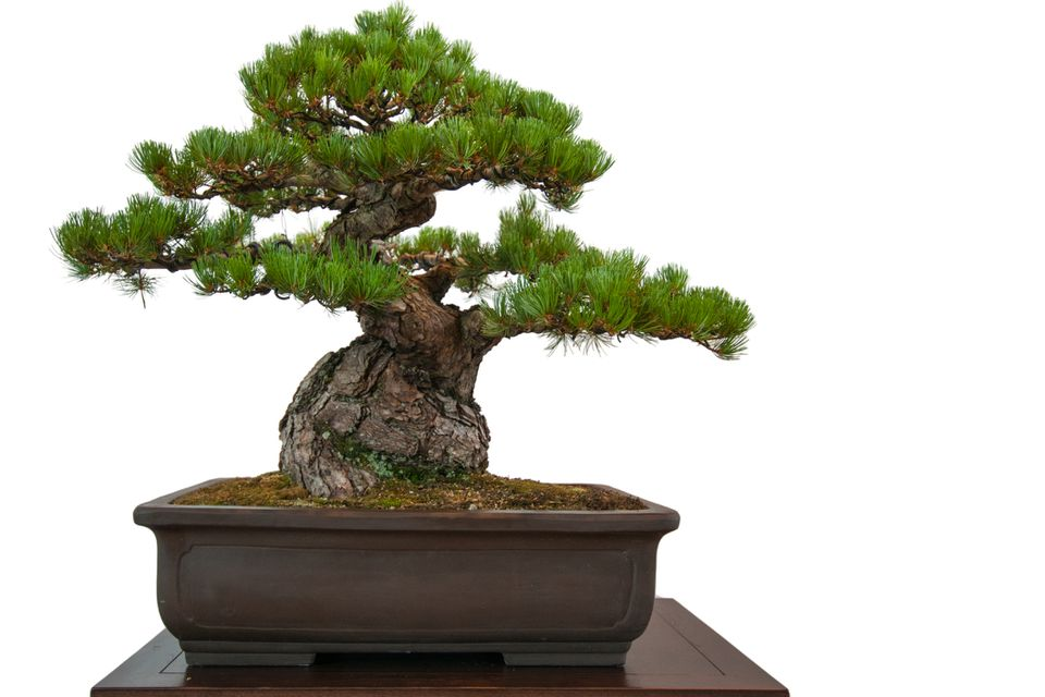 Old pine (Pinus parviflora) as bonsai tree in a pot. It is one of the most expensive bonsai houseplants in the world.