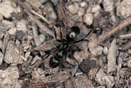 BLACK FIELD ANT. MONTANA, NORTH AMERICA. FORMICINAE SUBFAMILY.