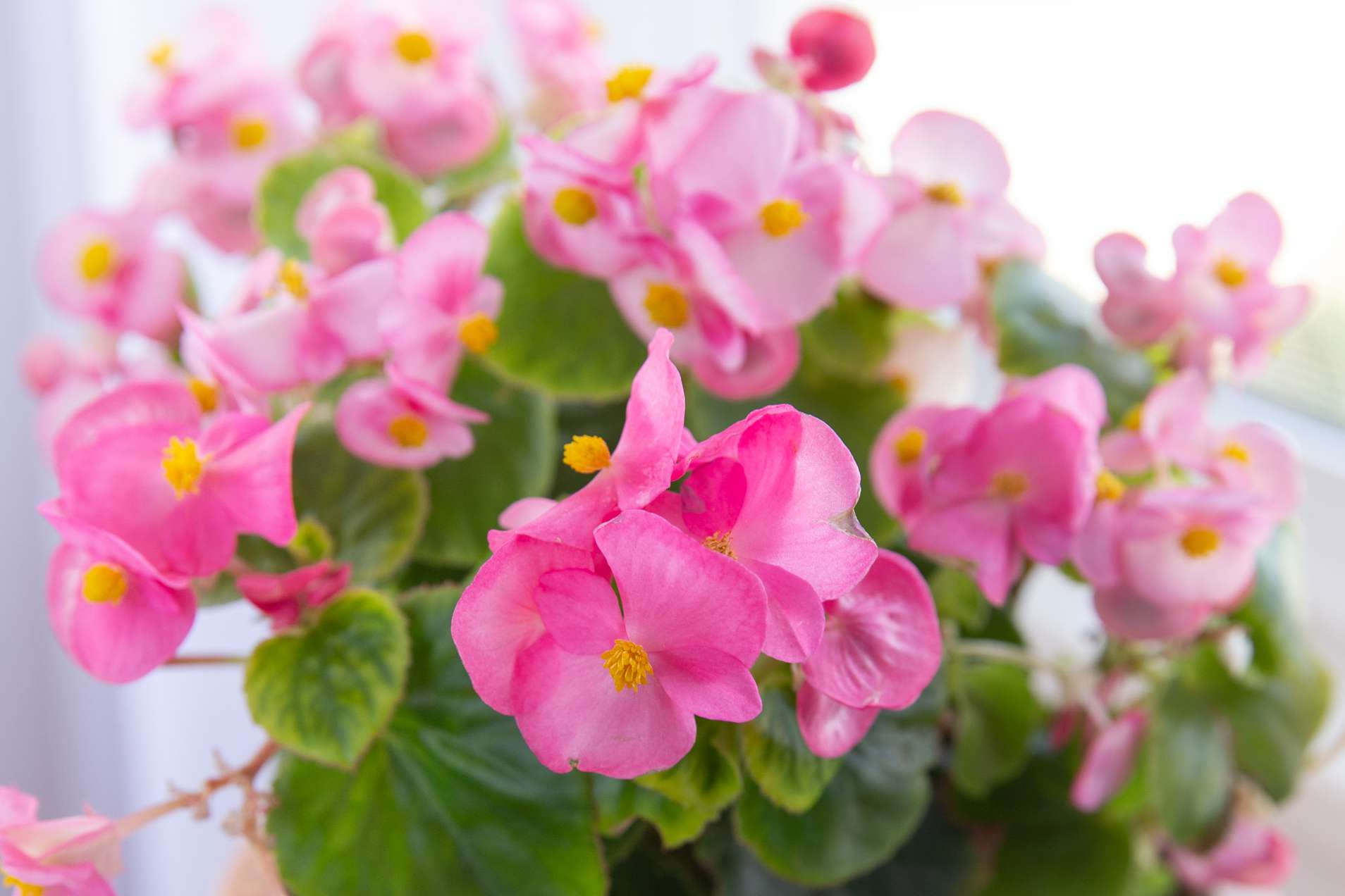 Rieger begonias in a vibrant pink hue