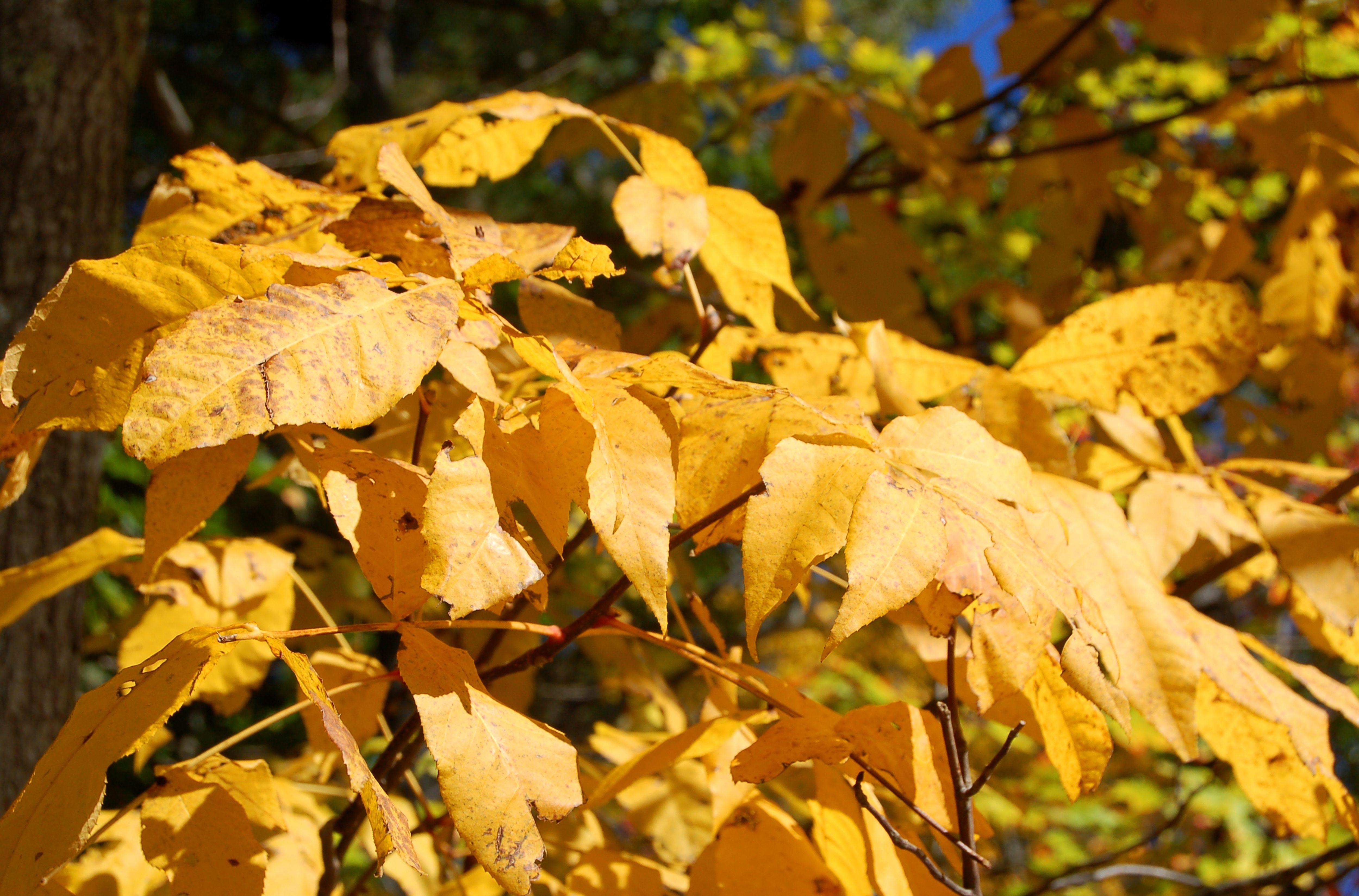 Fall foliage of shagbark hickory tree