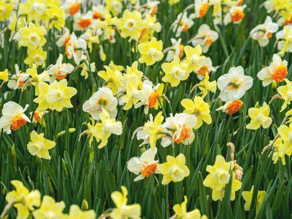 Jonquil flowers with yellow and white daffodil-like flowers on tall reed stems