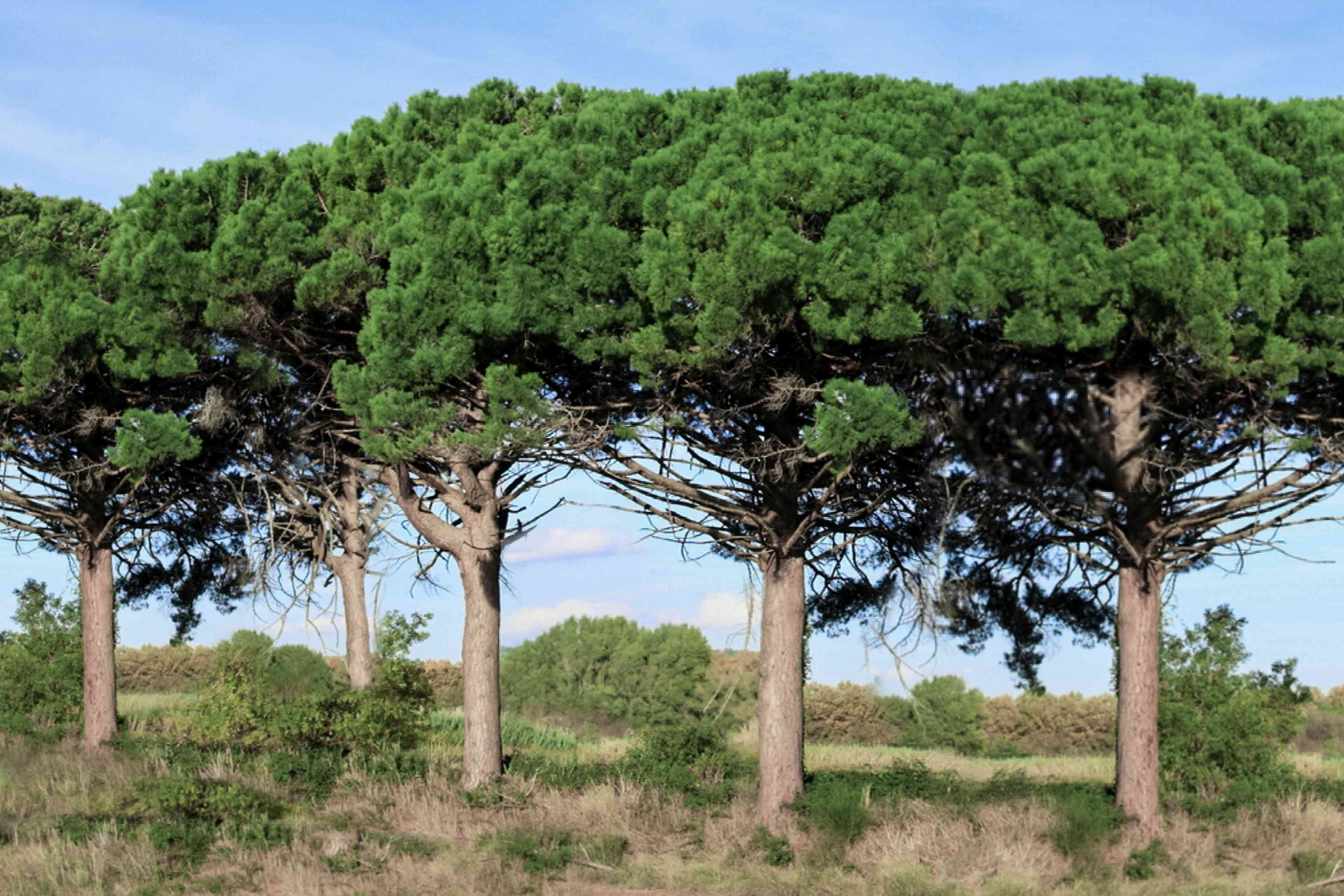Stone pine trees lined next to each other with umbrella-like canopies in middle of field