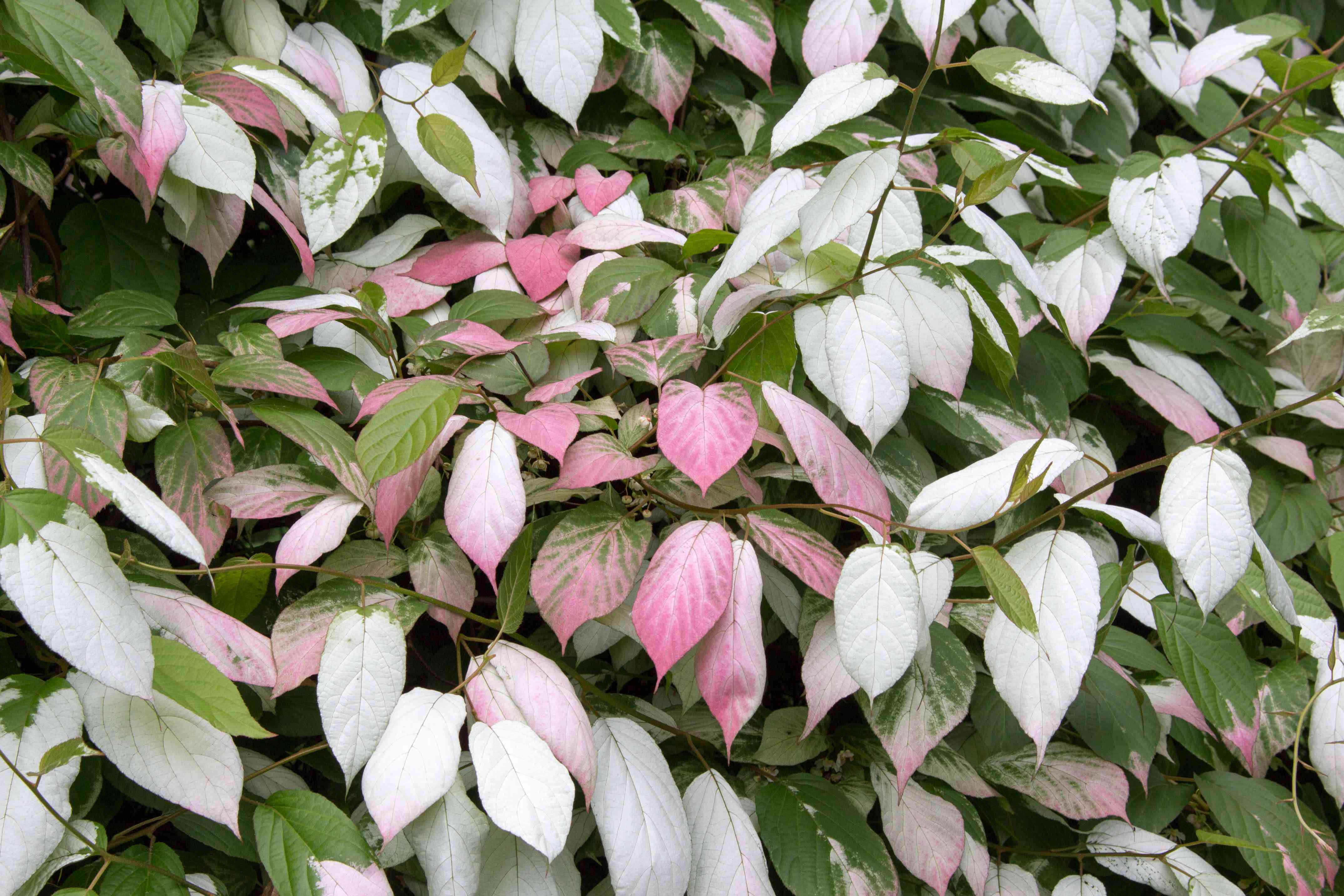 Actinidia colomicta is a beautiful plant with variegated pink and green leaves.