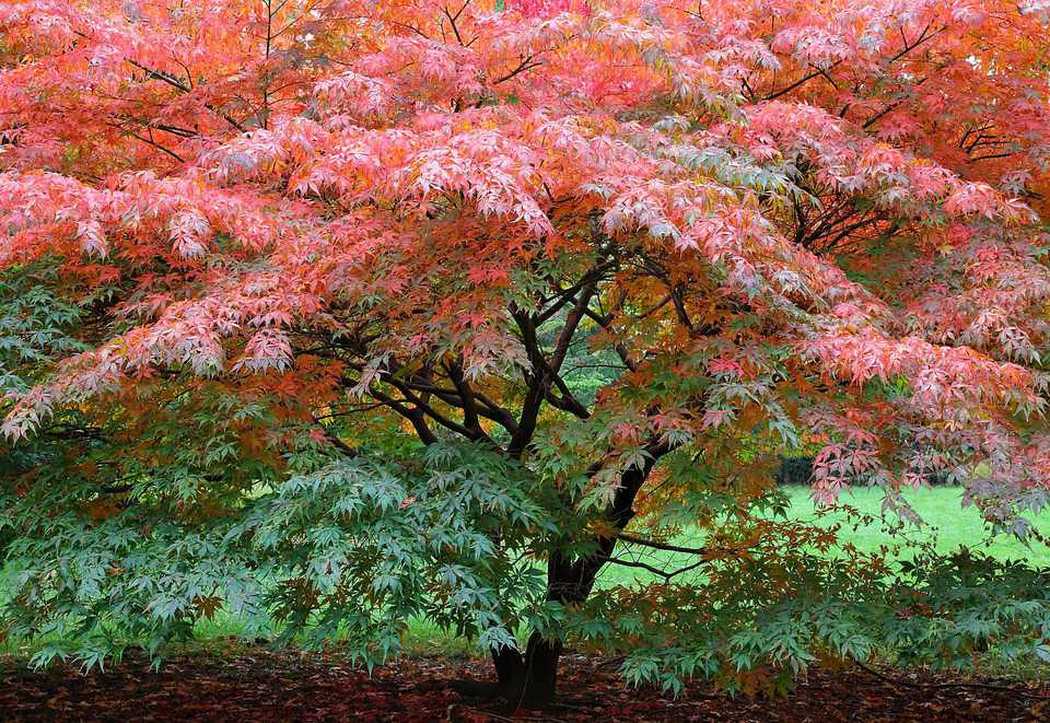 How To Grow And Care For Japanese Maple