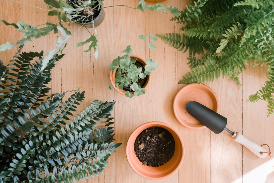 Best Techniques For Growing Fern Plants