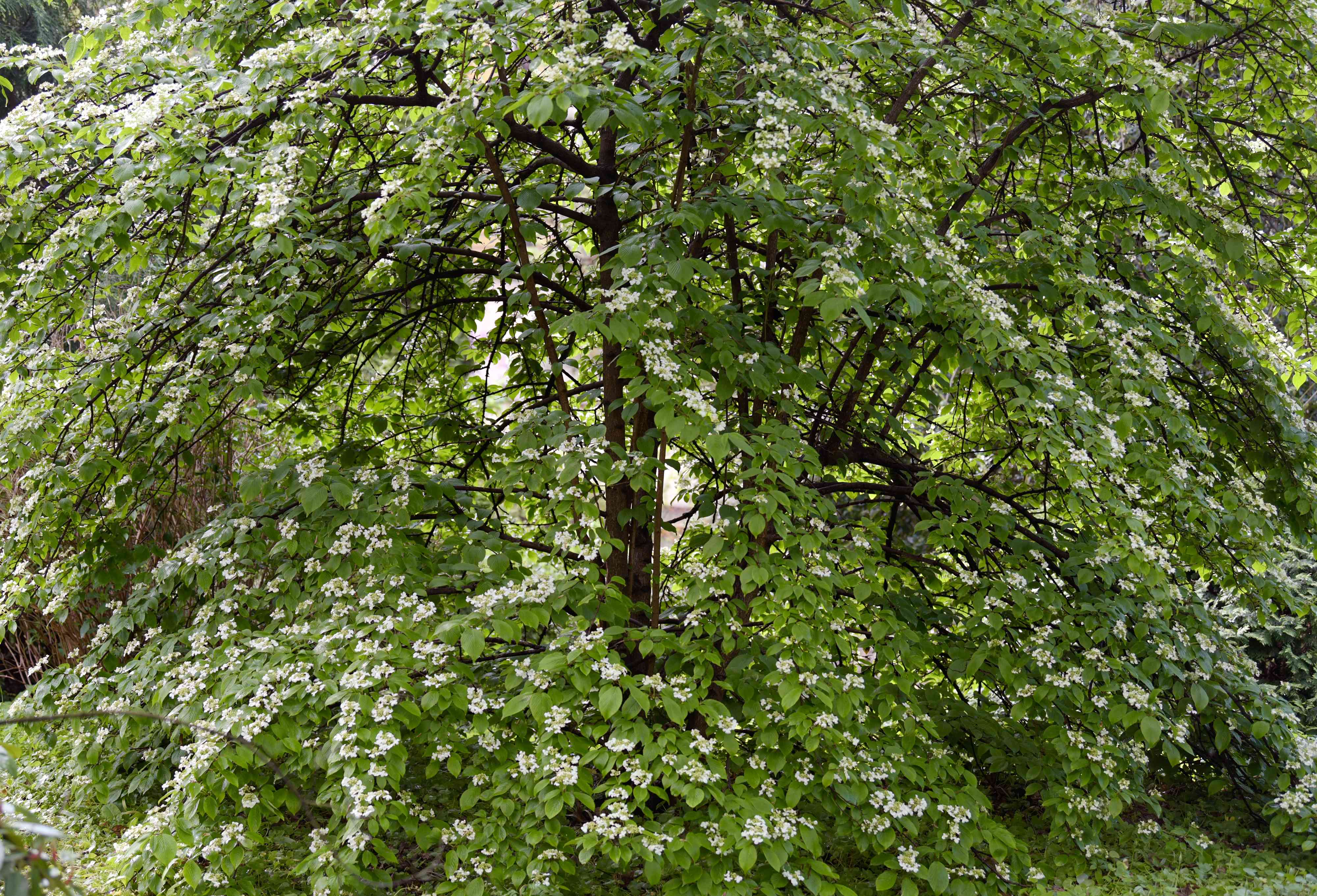 Doublefile viburnum tall shrub with small white flowers on sprawling branches