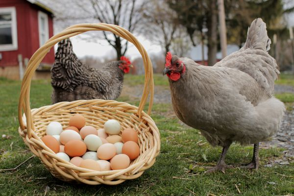 chickens and a basket of eggs