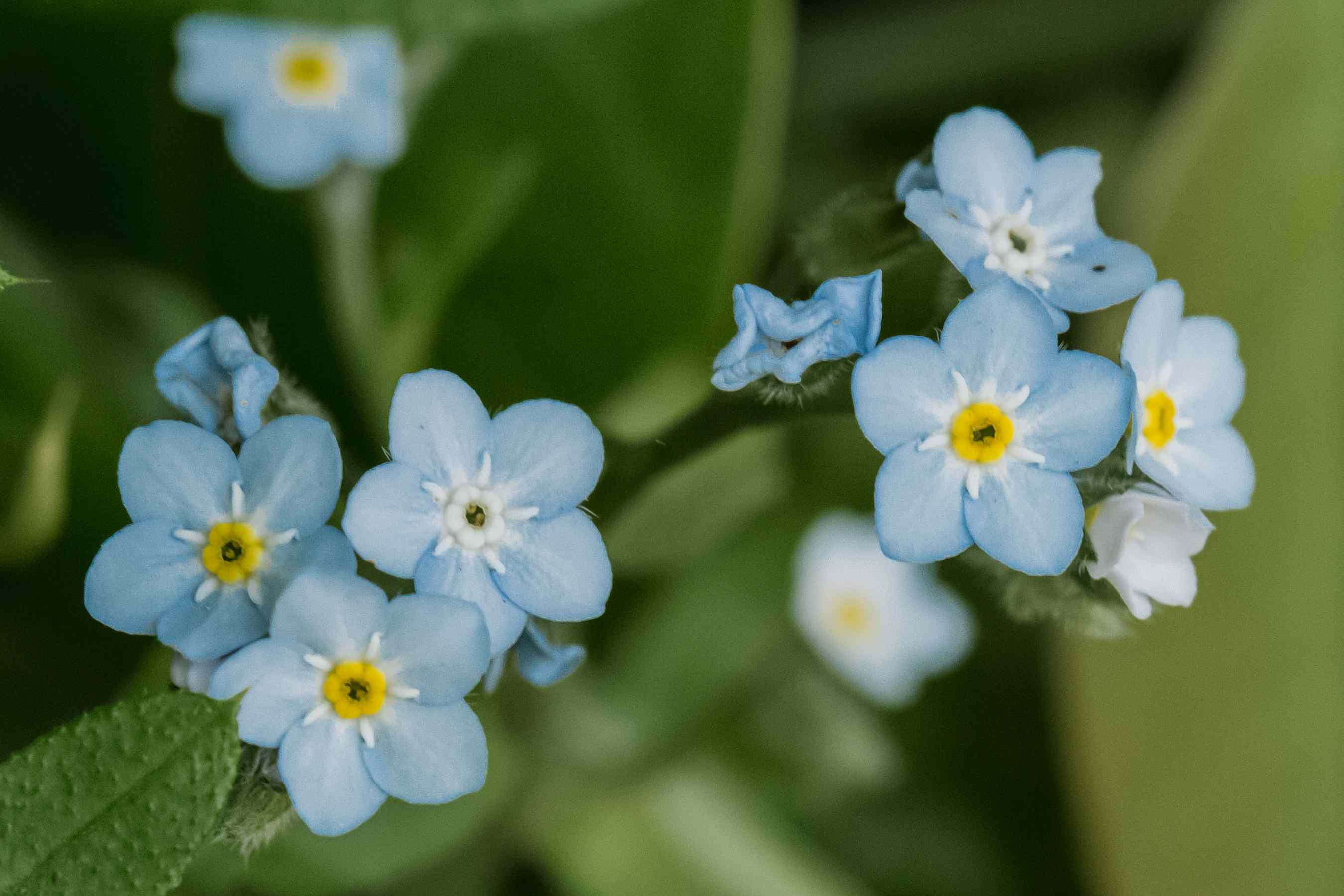 closeup of forget-me-not flowers