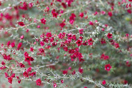 Leptospermum scoparium: New Zealand Tea Tree