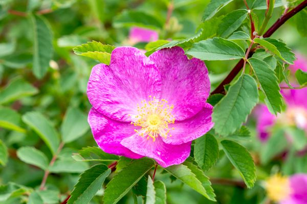 Carolina rose with fuchsia-pink petals and yellow anthers on stem with surrounding leaves