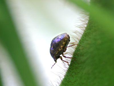 Kudzu bug