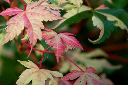 The Cause Of Brown Leaves On Japanese Maple Trees