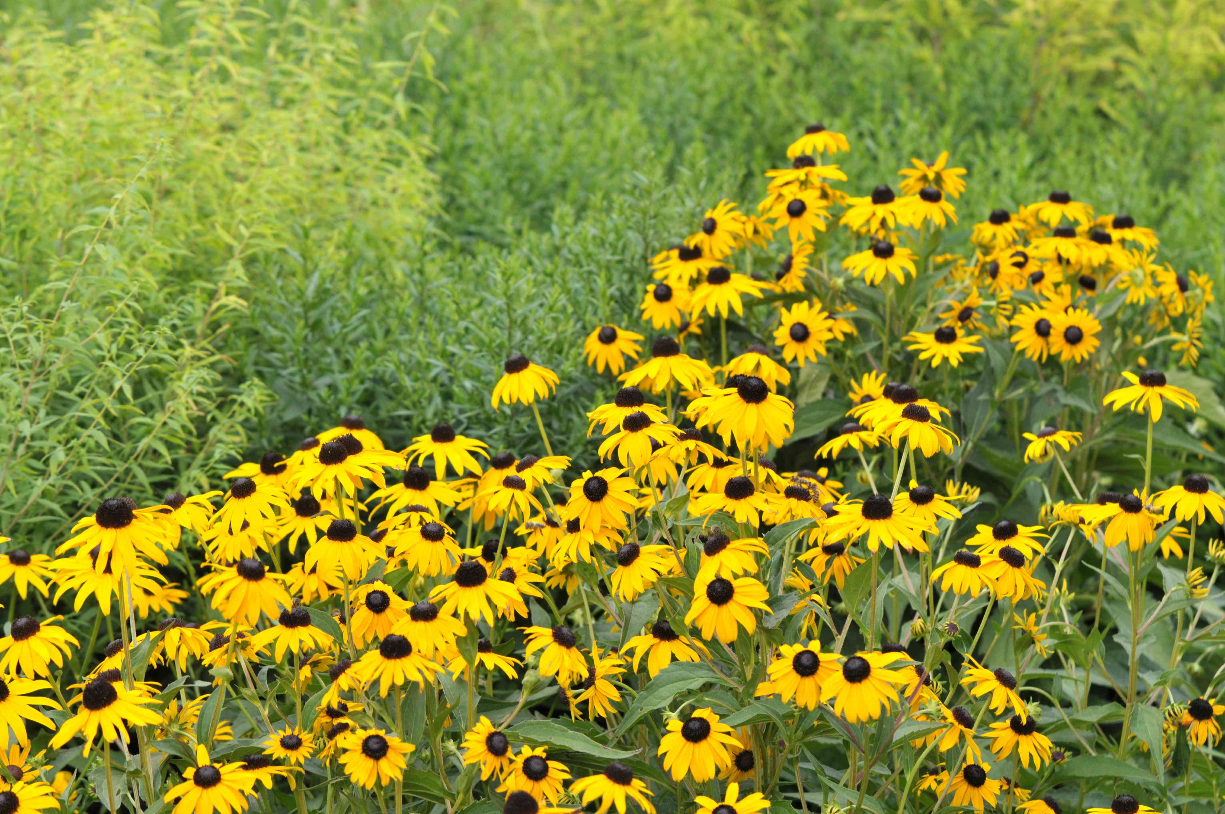 'Goldsturm' black-eyed susan flowers with yellow radiating petals next to tall grass