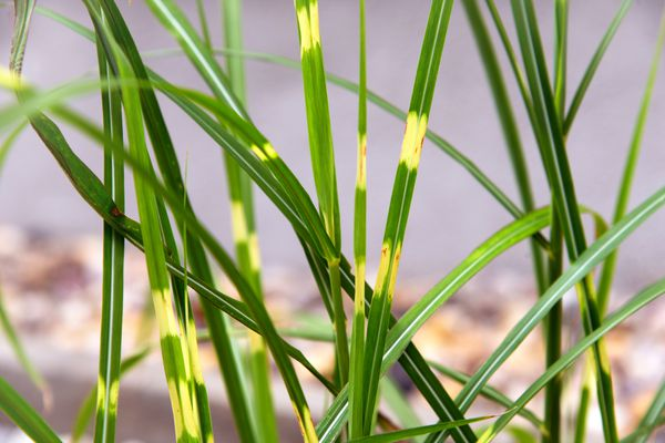 Zebra grass plant with long thin blades of variegated golden and green stripes closeup