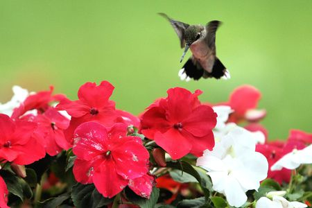 Make a Hummingbird Garden - Attract Hummingbirds