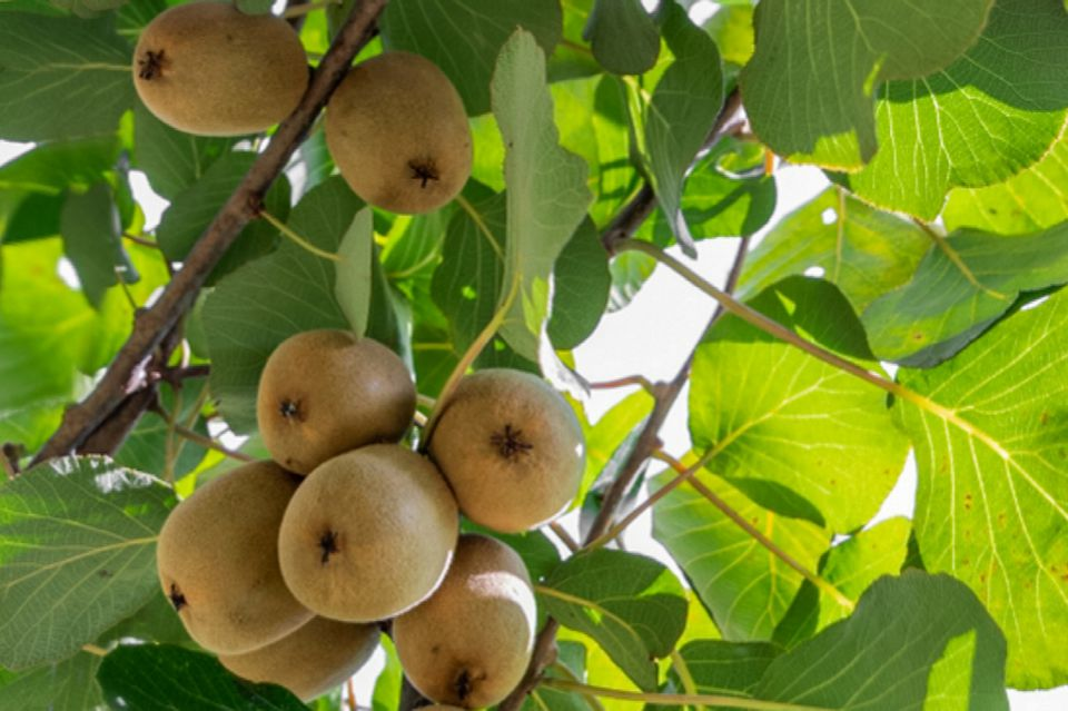 Kiwifruit hanging from tree branches seen from below