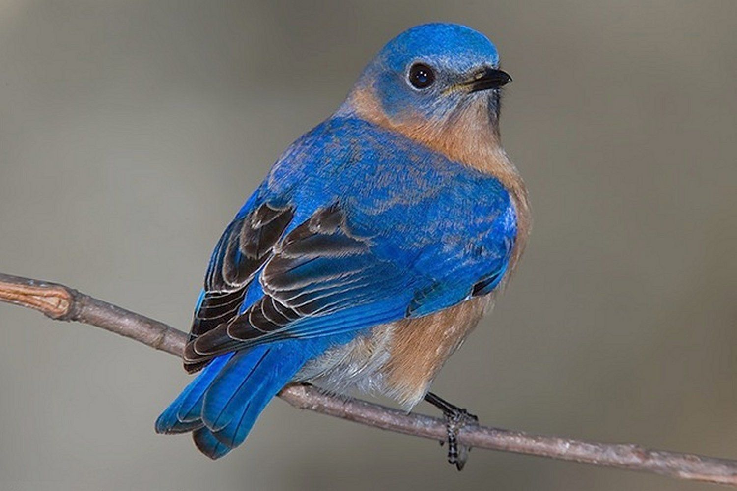 Eastern Bluebird, the state bird of New York, standing on a tree branch.