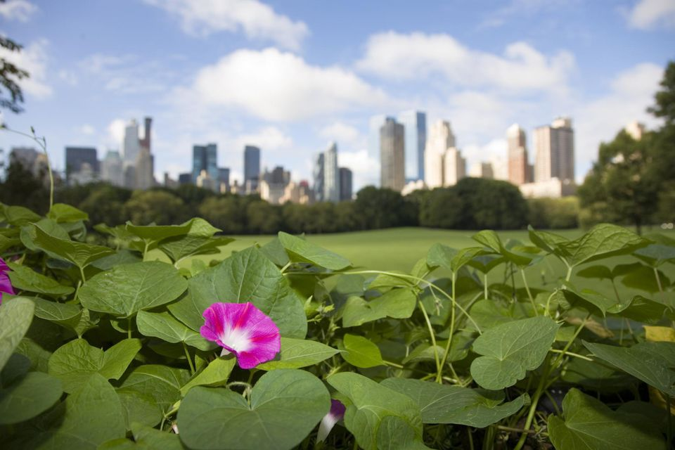 Manhattan cityscape with bindweed in the foreground