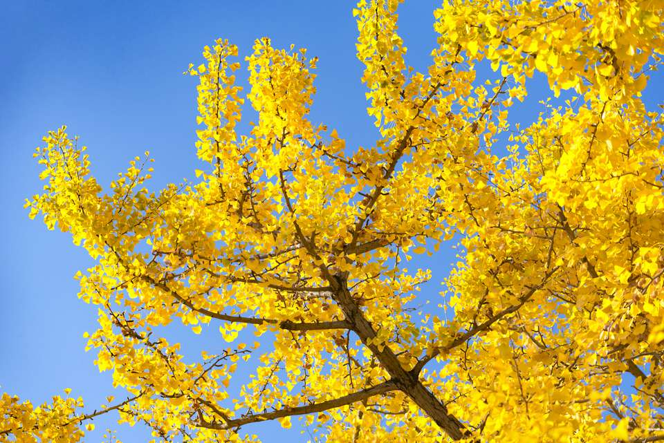 Yellow Ginkgo Leaves with Blue Sky Background at Showa Kinen Memorial Park in Autumn, Japan