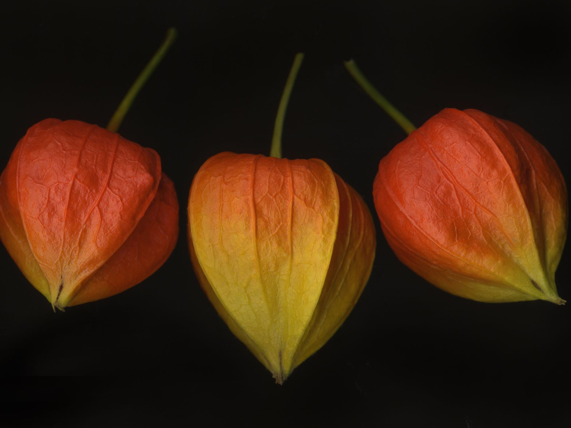 Chinese Lantern Plant Care And Growing Guide