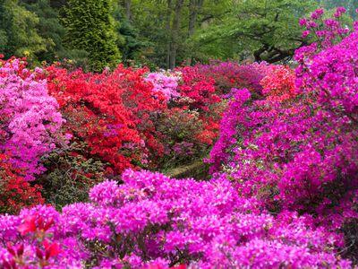 azalea shrubs
