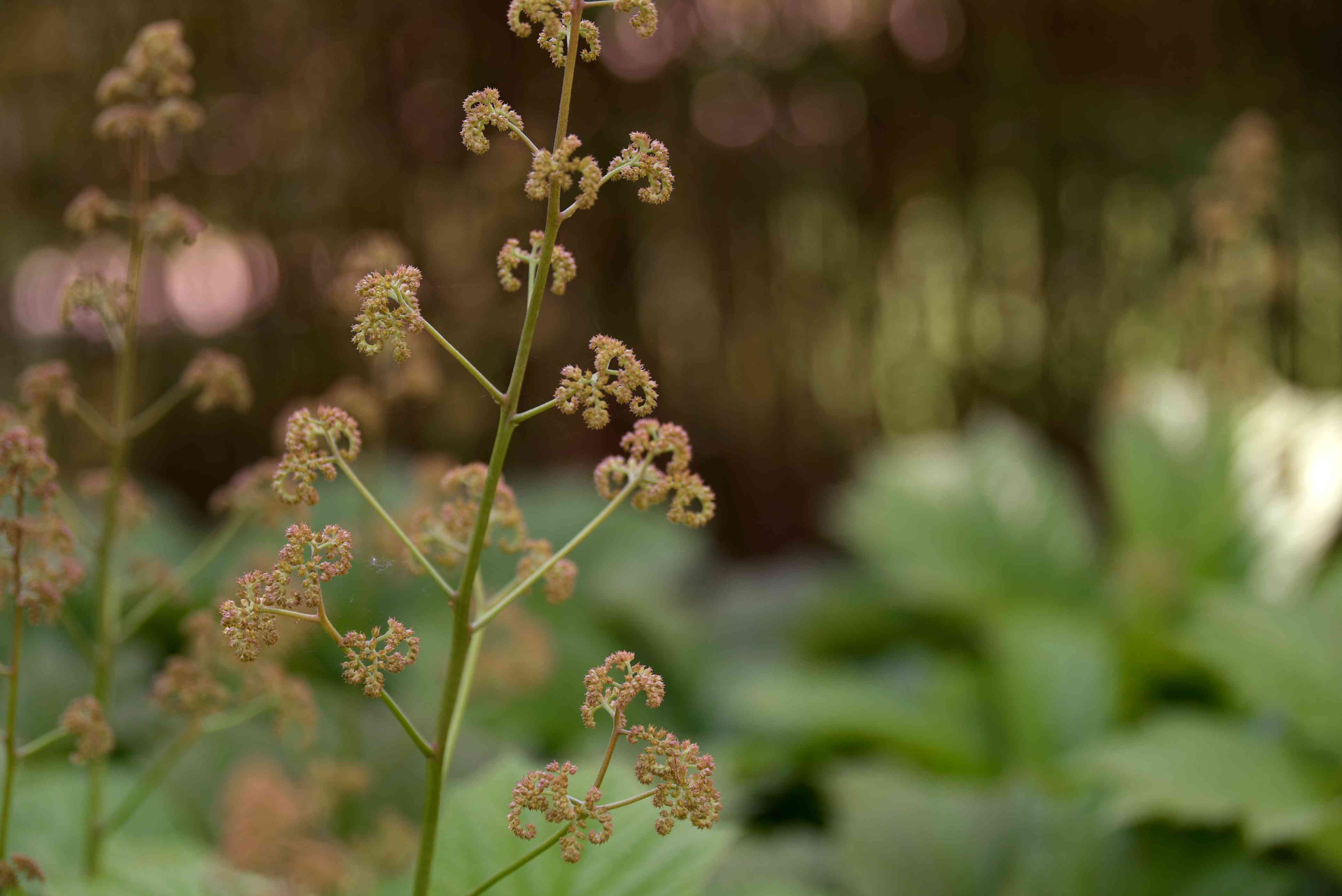 Reddish-brown tinges on thin stem of Rodgers flowers closeup