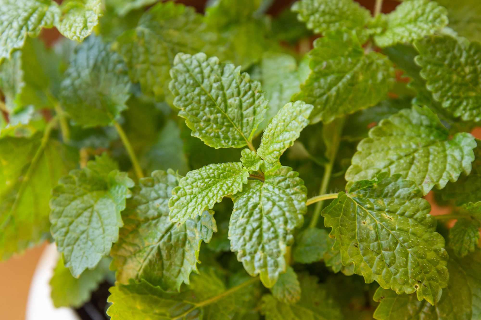 closeup of lemon balm leaves
