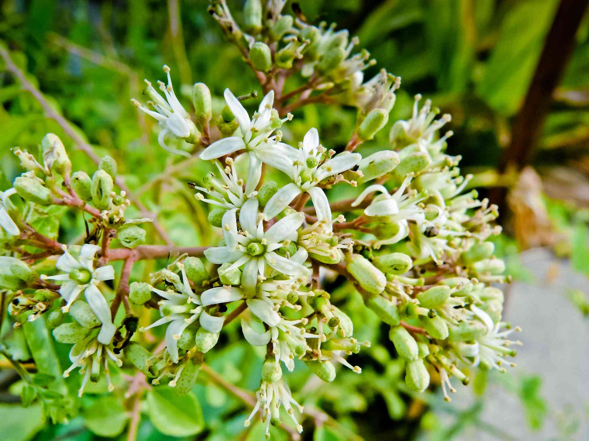 white flowers growing on a curry tree