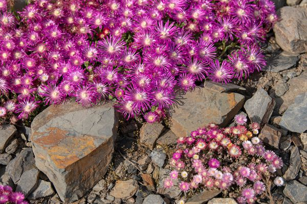 Cooper's hardy ice desert plant with magenta frilly petals surrounded by rocks