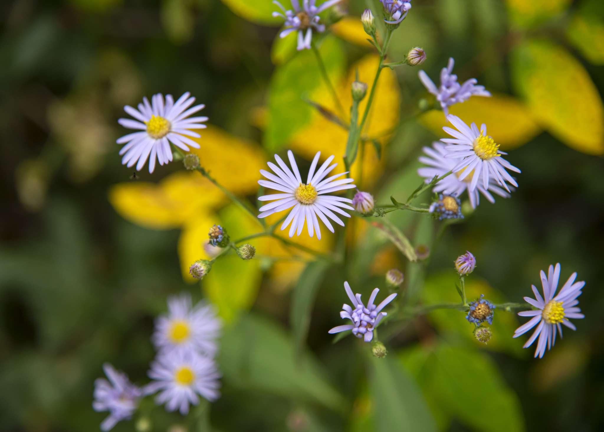 Smooth blue aster flower closeup