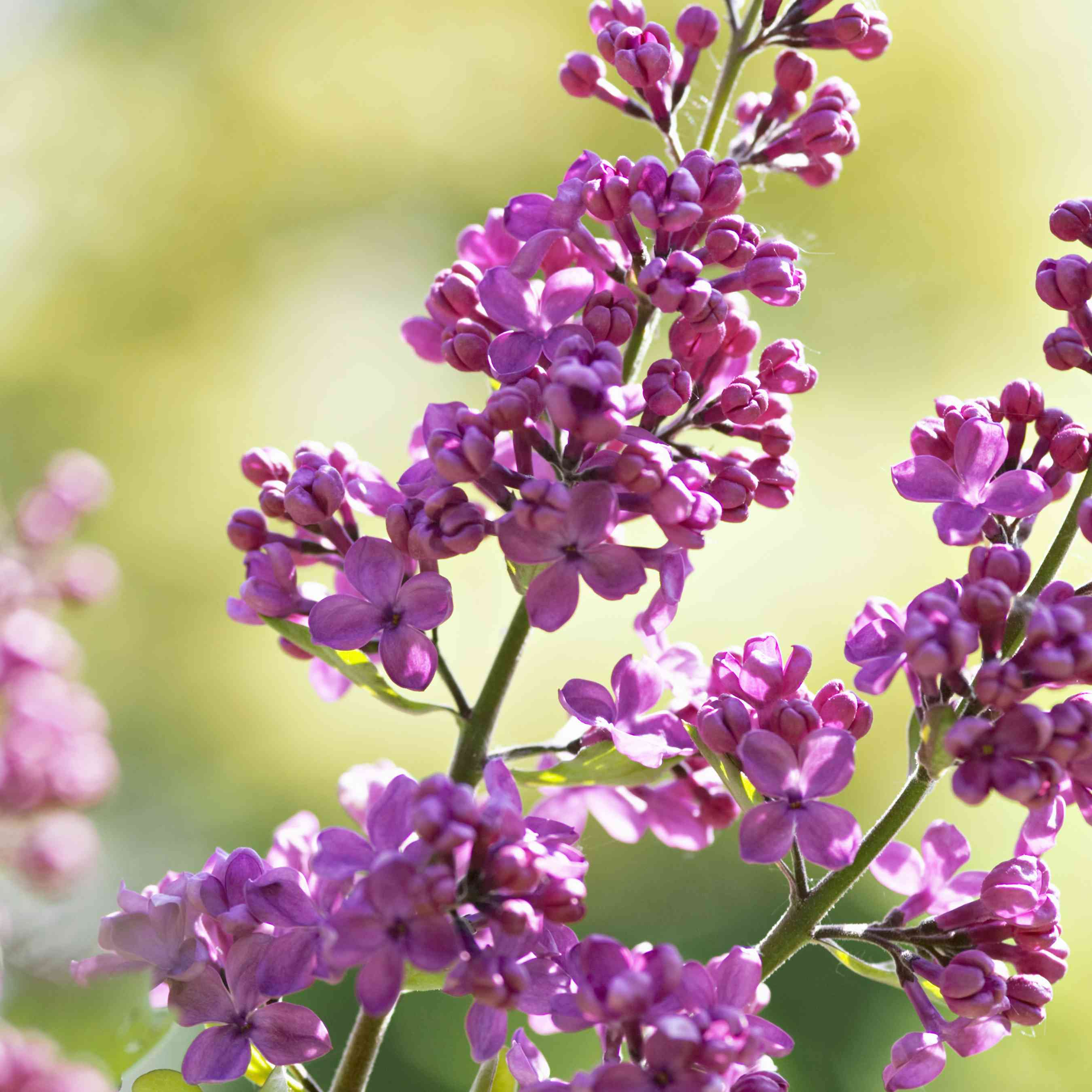 The Charles Joly lilac with pink blooms
