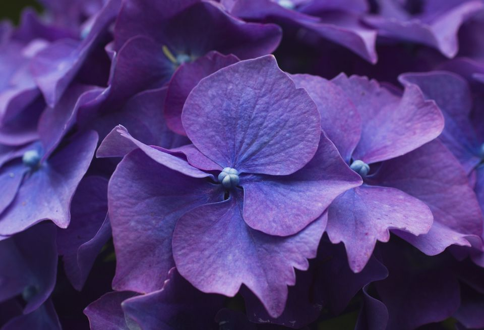 Closeup of sepals of purple hydrangea shrub flower.